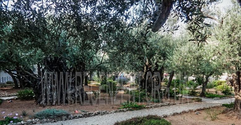 Гефсиманский сад на Масличной горе