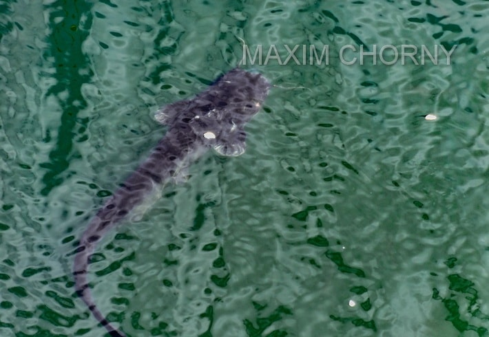 Chernobyl catfish - giant fish live in the cooling pond and gratefully eats bread